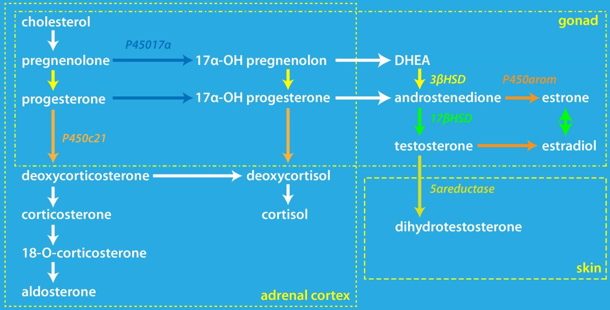 Schematisch overzicht voor de omzetting van cholesterol naar andere hormonen.