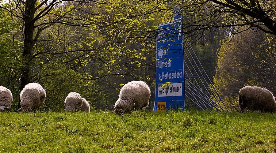 Schapen langs de A73 bij de afslag Wijchen / Nijmegen / 's-Hertogenbosch. Beeld: Miriam van der Have