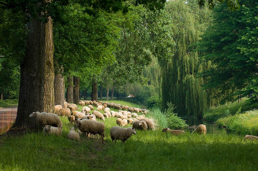 Schapen op de Staddijk – In de zomer lopen op de Staddijk en in het aangrenzende Stadspark Staddijk schapen om het gras kort te houden. Beeld: Miriam van der Have